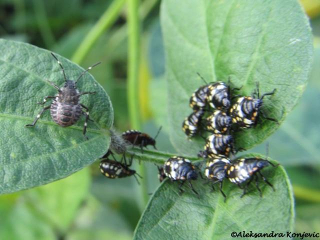 Na slici levo: larva Halyomorpha halys. Desno: larve Nezara viridula. Foto: Aleksandra Konjević.