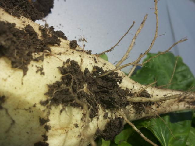 Čupanjem biljaka sa ovim simptomima na korenu su uočene golim okom sitne bele loptaste tvorevine, veličine glave čioda-ženke repine cistolike nematode prve generacije