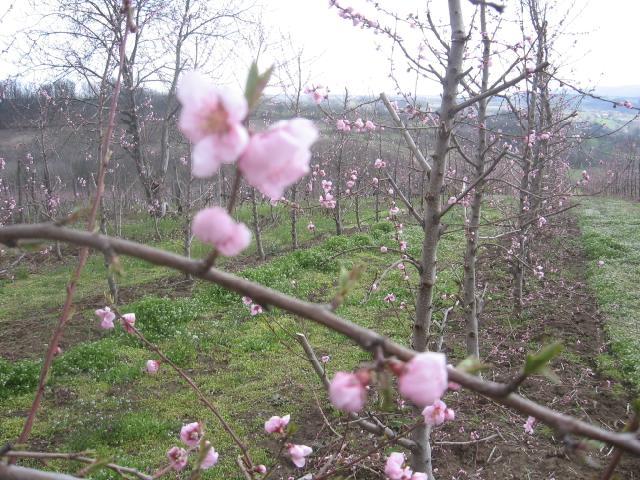 Faza cvetanja breskve,lokalitet Milutovac