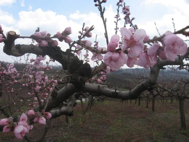Faza cvetanja breskve, Lokalitet Milutovac