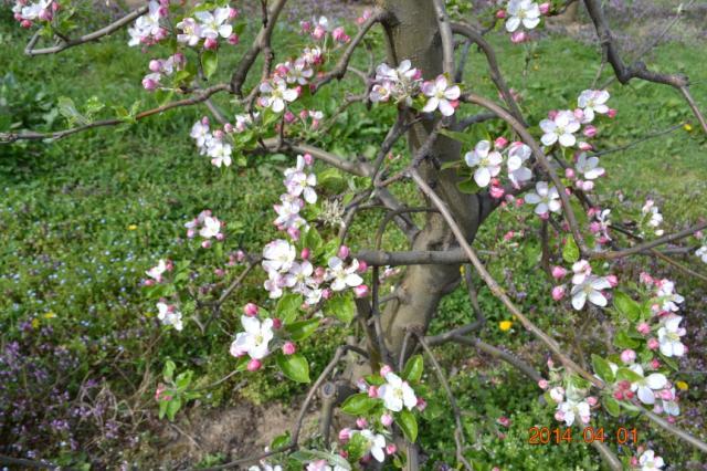 Pepelnica jabuke, sorta ajdared,lokalitet Milutovac