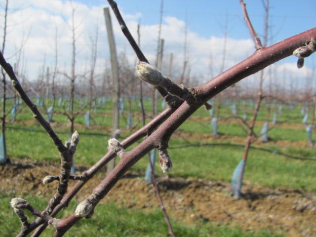 fenofaza razvoja jabuke 07-09 BBCH skala, Mala Drenova