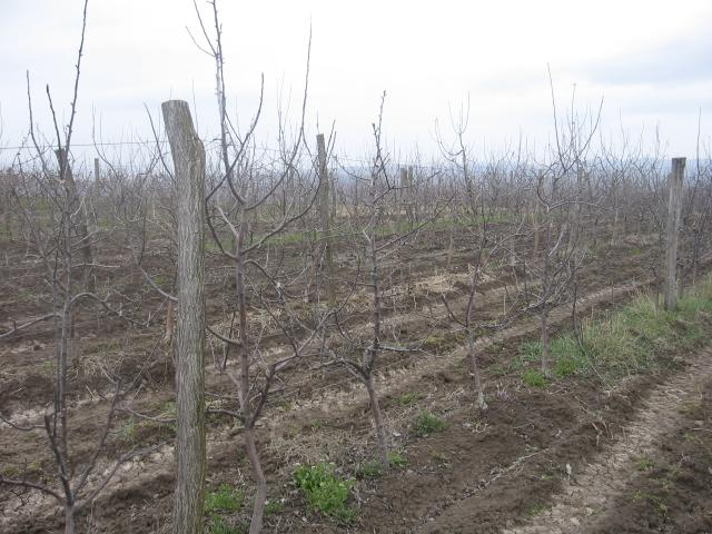 Zasad jabuke,lokalitet Mala Drenova