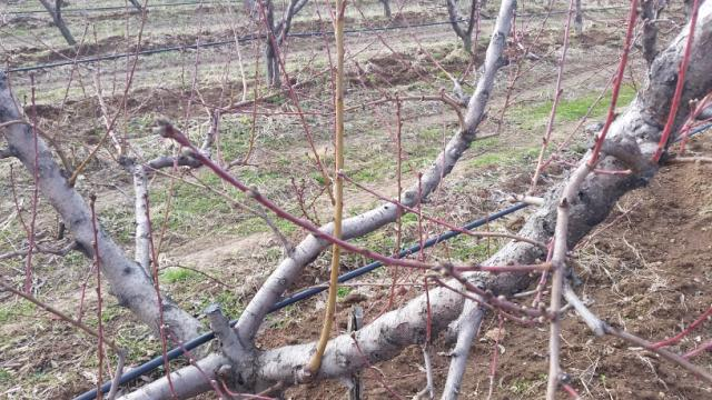 Zaštita breskve, rane sorte,lokalitet Milutovac