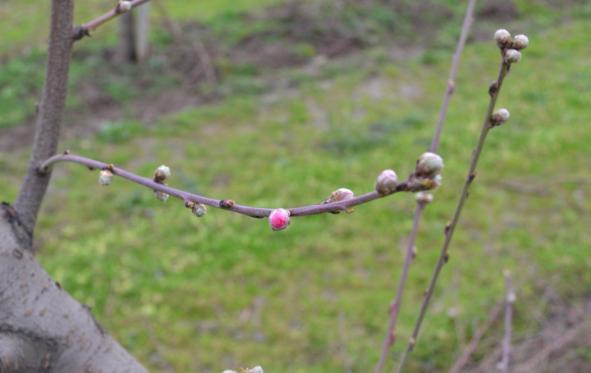 Zaštita breskve ,početak cvetanja,lokalitet Milutovac