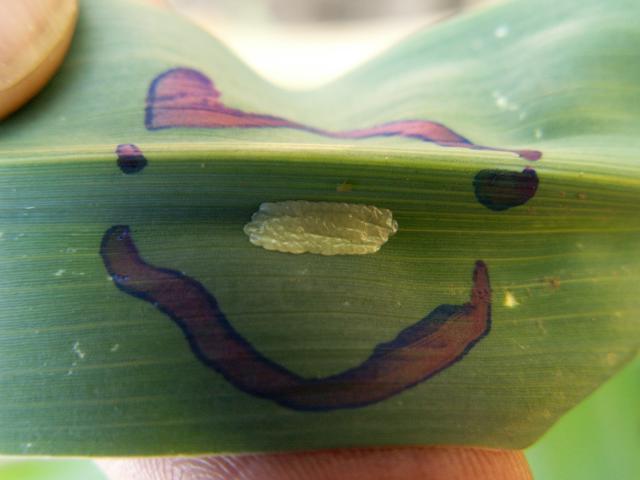 jajno leglo kukuruznog plamenca na kukuruzu šećercu