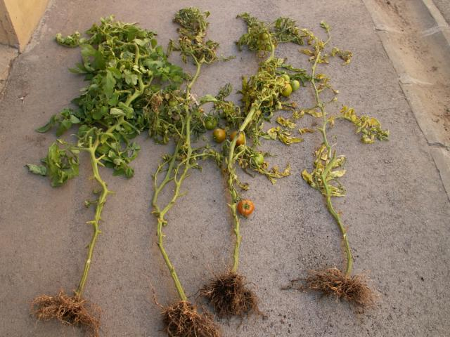 simptomi prisustva nematoda na paradajzu