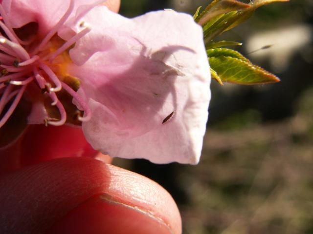 Odrasla jedinka tripsa na cvetu nektarine (2015.).